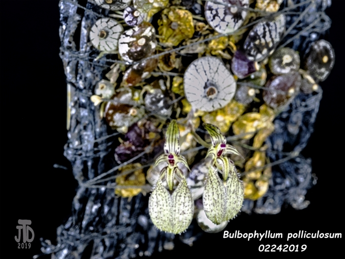 Name:  Bulbophyllum polliculosum1 02242019.jpg Views: 161 Size:  265.2 KB