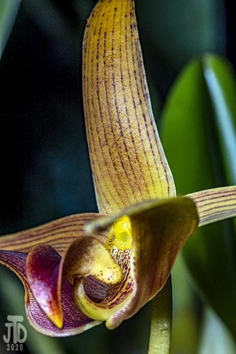 Name:  Bulbophyllum lobbii 'Jean Webster' AMAOS X Bulb sumatranum 'A-doribil'2 03182020.jpg Views: 73 Size:  141.3 KB