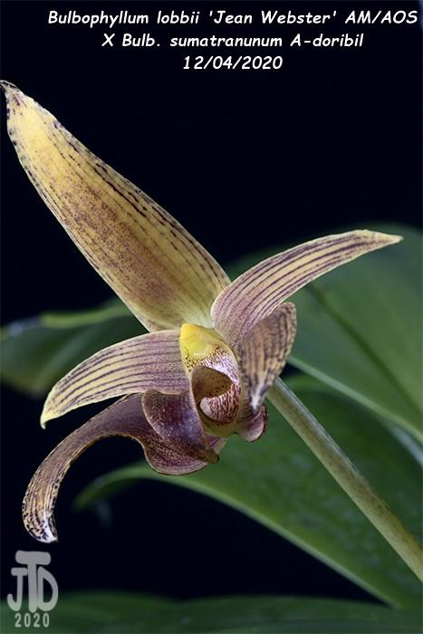 Name:  Bulbophyllum lobbii 'Jean Webster' AMAOS X Bulb. sumatranunum A-doribil1 12032020.jpg Views: 96 Size:  109.5 KB