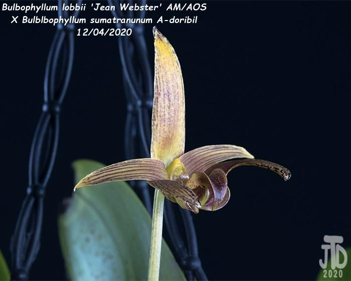 Name:  Bulbophyllum lobbii 'Jean Webster' AMAOS X Bulb. sumatranunum A-doribil2 12032020.jpg Views: 95 Size:  95.9 KB