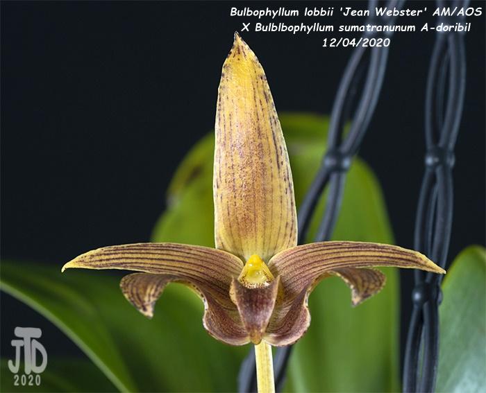 Name:  Bulbophyllum lobbii 'Jean Webster' AMAOS X Bulb. sumatranunum A-doribil3 12032020.jpg Views: 95 Size:  122.4 KB