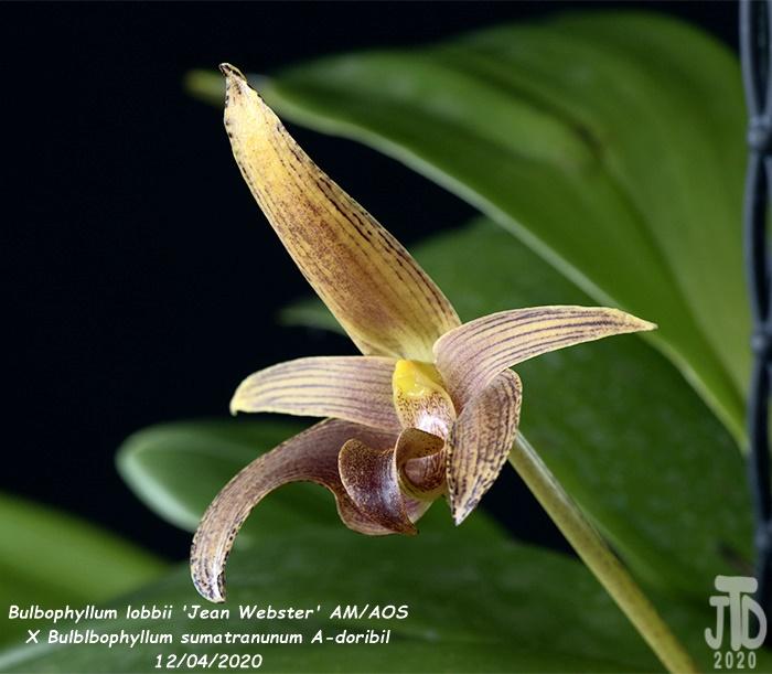 Name:  Bulbophyllum lobbii 'Jean Webster' AMAOS X Bulb. sumatranunum A-doribil4 12032020.jpg Views: 96 Size:  124.7 KB