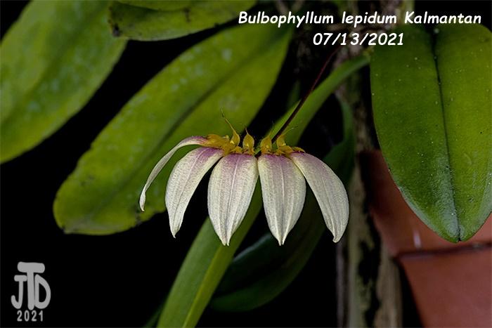 Name:  Bulbophyllum lepidum Kalimantan3 08122021.jpg Views: 34 Size:  114.6 KB