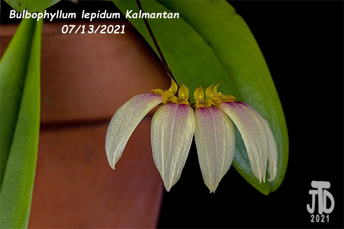 Name:  Bulbophyllum lepidum Kalimantan5 08122021.jpg Views: 33 Size:  101.1 KB