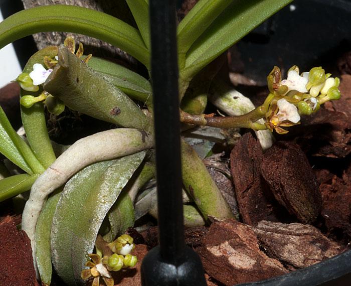 Name:  Trichog-triflora.-2.jpg Views: 332 Size:  108.1 KB