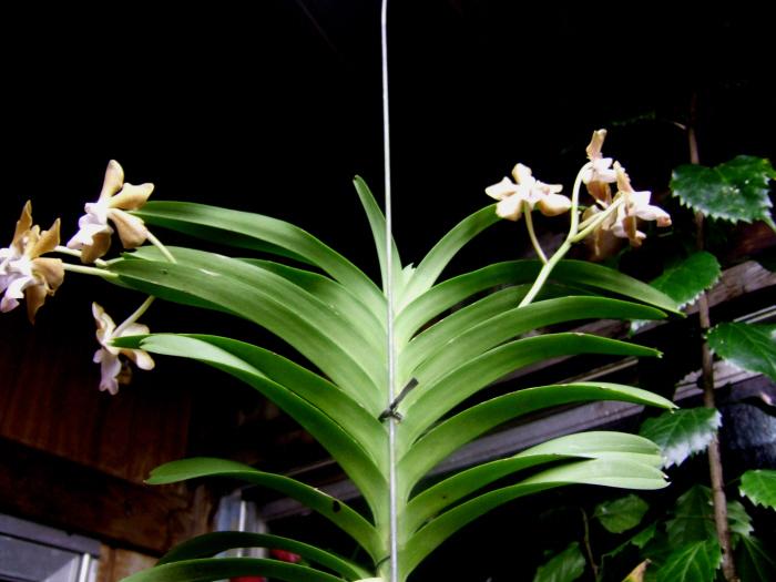 Name:  Encyclia cochleata 002.JPG Views: 1058 Size:  185.6 KB