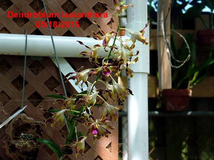 Name:  Dendrobium lasianthera.JPG Views: 163 Size:  313.9 KB