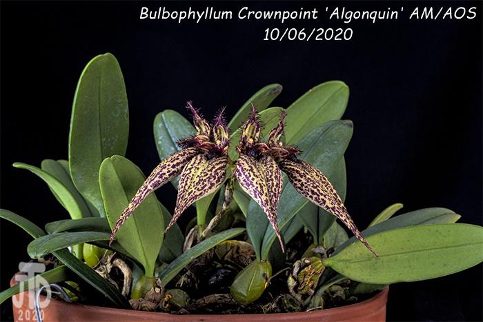 Name:  Bulbophyllum Crownpoint 'Algonquin' AM-AOS3 10062020.jpg Views: 41 Size:  181.6 KB