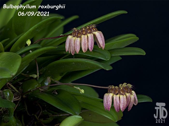 Name:  Bulbophyllum roxburghii2 06092021.jpg Views: 34 Size:  151.4 KB