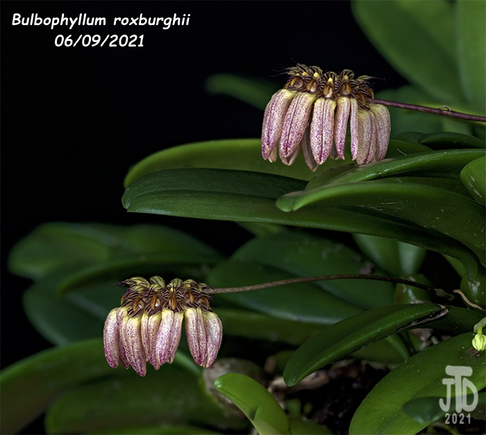 Name:  Bulbophyllum roxburghii4 06092021.jpg Views: 33 Size:  138.4 KB