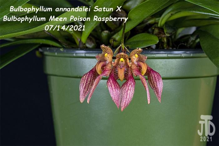 Name:  Bulbophyllum annandalei Satun X Bulbo. Meen Poison Raspberry3 08142021.jpg Views: 43 Size:  119.2 KB