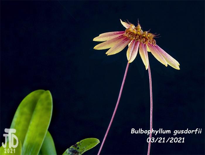 Name:  Bulbophyllum gusdorfii2 03212021.jpg Views: 46 Size:  147.2 KB