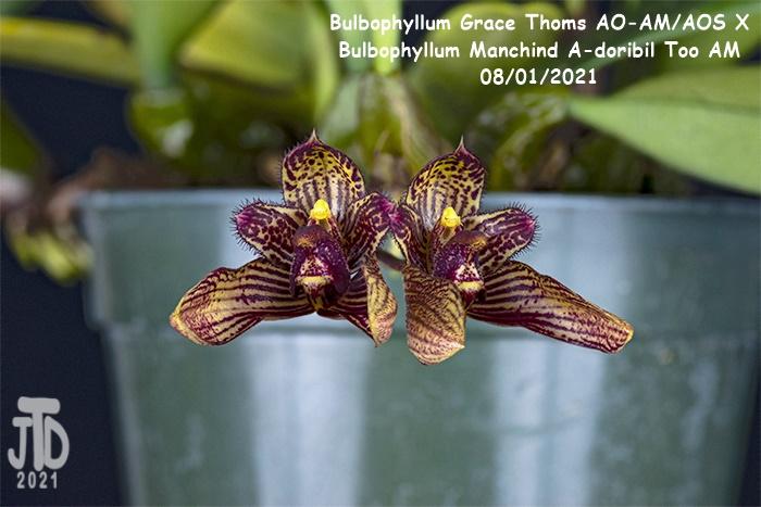 Name:  Bulbophyllum Grace Thoms AO-AMAOS X B. Manchind A-doribil Too AM3 07292021.jpg Views: 39 Size:  121.2 KB