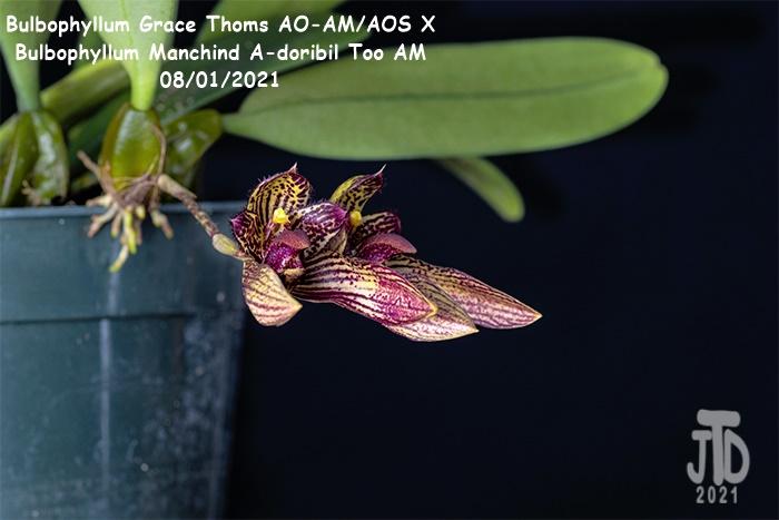 Name:  Bulbophyllum Grace Thoms AO-AMAOS X B. Manchind A-doribil Too AM4 07292021.jpg Views: 40 Size:  90.9 KB