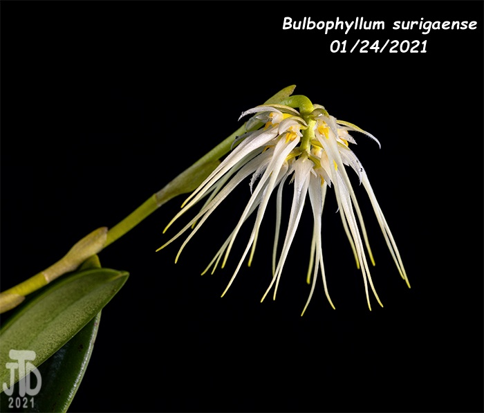 Name:  Bulbophyllum surigaense2 01242021.jpg Views: 53 Size:  90.2 KB