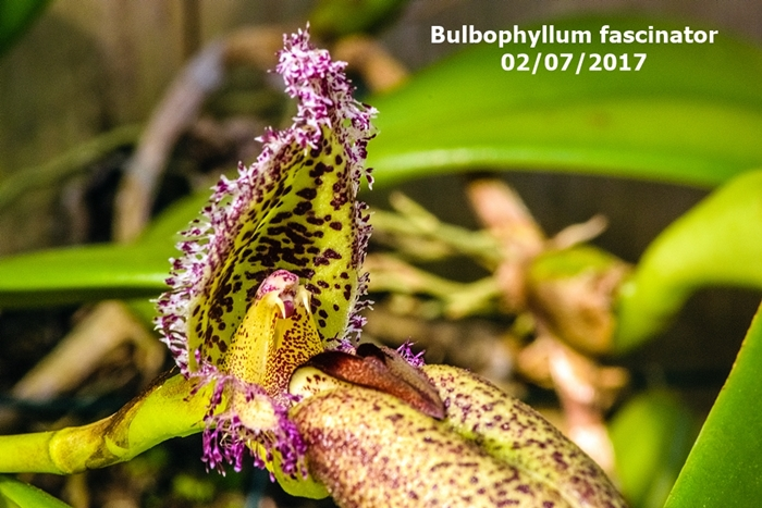 Name:  Bulbophyllum fascinator 300mm.jpg Views: 628 Size:  288.5 KB