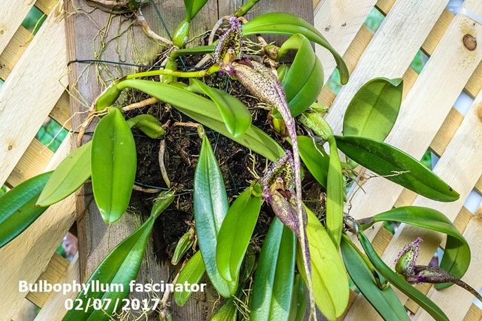 Name:  Bulbophyllum fascinator.jpg Views: 566 Size:  377.5 KB