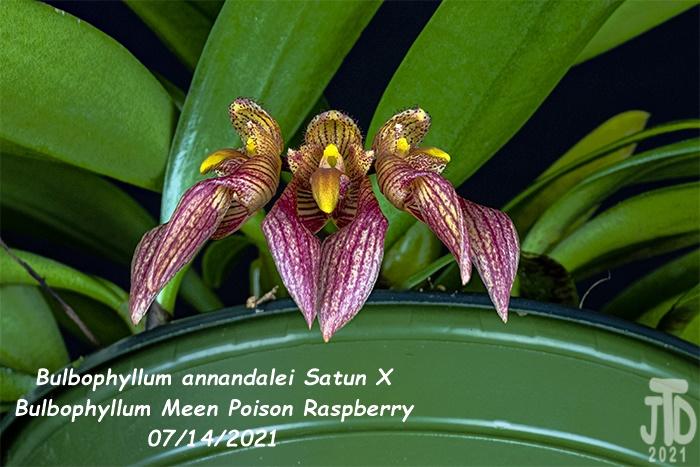 Name:  Bulbophyllum annandalei Satun X Bulbo. Meen Poison Raspberry5 08142021.jpg Views: 39 Size:  154.9 KB