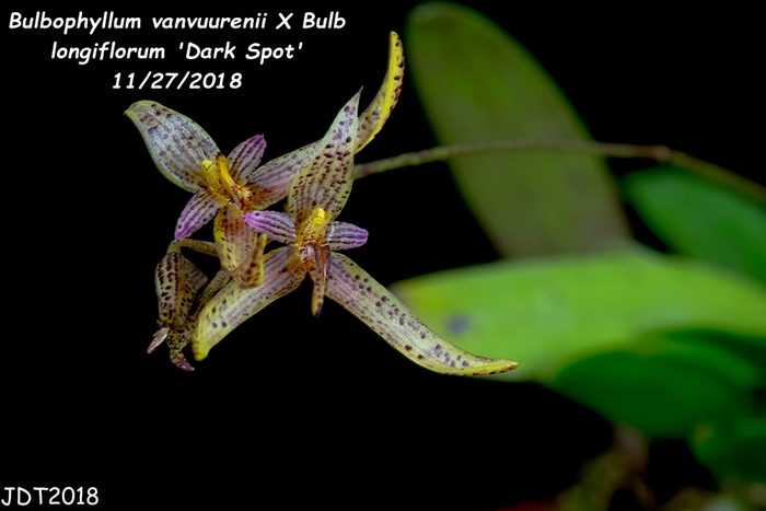 Name:  Bulbophyllum vanvuurenii X Bulb longiflorum 'Dark Spot'5 11272018.jpg Views: 81 Size:  139.0 KB