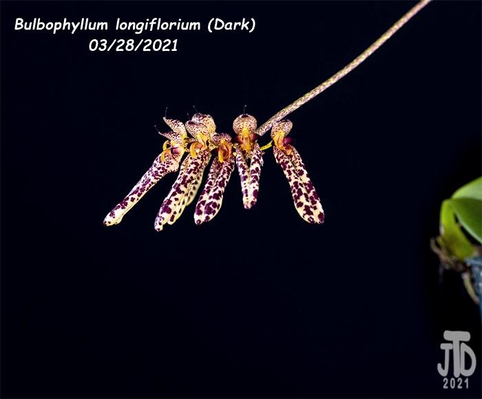 Name:  Bulbophyllum longiflorium (Dark)2 03282021.jpg Views: 48 Size:  92.2 KB