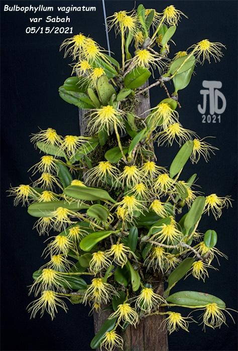 Name:  Bulbophyllum vaginatum var Sabah1 05152021.jpg Views: 58 Size:  201.7 KB