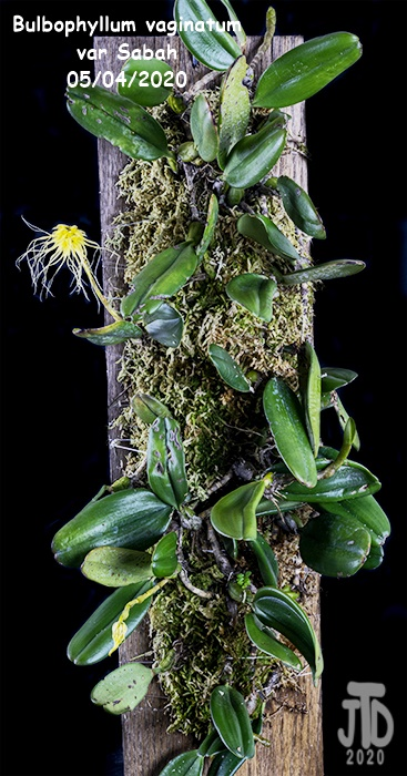 Name:  Bulbophyllum vaginatum var Sabah1 05042020.jpg Views: 38 Size:  143.4 KB