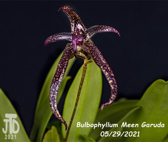Name:  Bulbophyllum Meen Garuda3 05292021.jpg Views: 38 Size:  83.6 KB