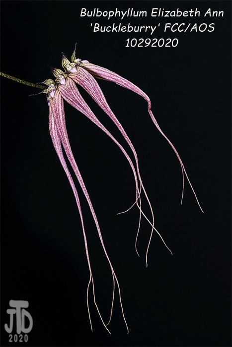 Name:  Bulbophyllum Elizabeth Ann 'Buckleburry'4 10292020.jpg Views: 59 Size:  85.0 KB