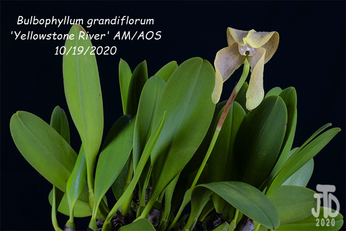 Name:  Bulbophyllum grandiflorum 'Yellowstone River' AMAOS4 10192020.jpg Views: 42 Size:  122.0 KB