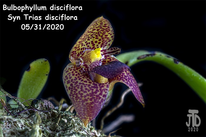 Name:  Bulbophyllum Trias disciflora3 05312020.jpg Views: 64 Size:  111.6 KB