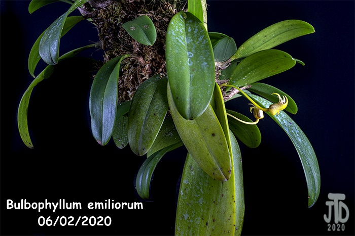 Name:  Bulbophyllum emiliorum1 06022020.jpg Views: 59 Size:  123.3 KB