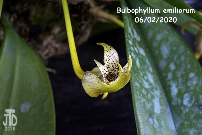 Name:  Bulbophyllum emiliorum3 06022020.jpg Views: 61 Size:  111.3 KB