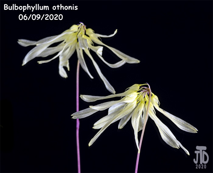 Name:  Bulbophyllum othonis3 06092020.jpg Views: 48 Size:  95.6 KB