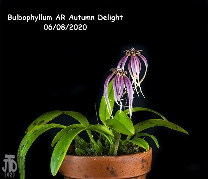 Name:  Bulbophyllum AR Autumn Delight1 06082020.jpg Views: 44 Size:  128.2 KB