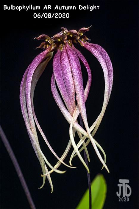 Name:  Bulbophyllum AR Autumn Delight2 06082020.jpg Views: 40 Size:  137.9 KB