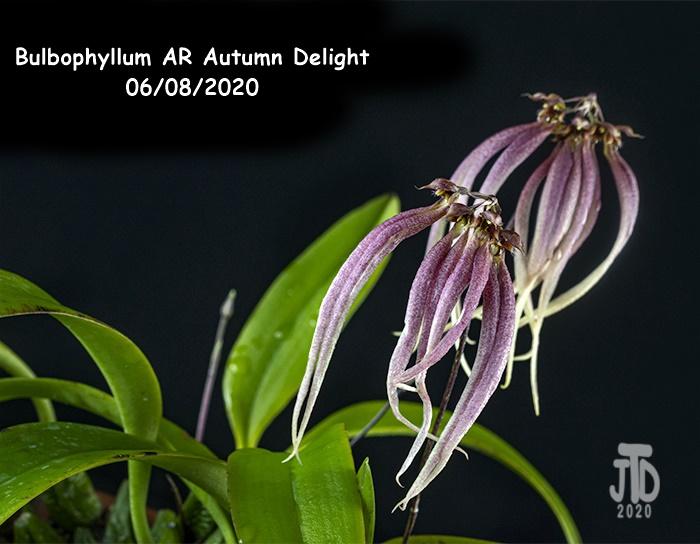 Name:  Bulbophyllum AR Autumn Delight4 06082020.jpg Views: 41 Size:  151.3 KB