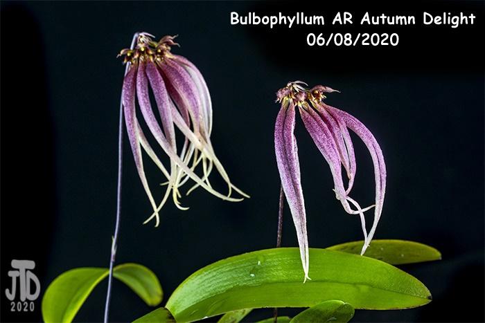 Name:  Bulbophyllum AR Autumn Delight5 06082020.jpg Views: 37 Size:  140.4 KB