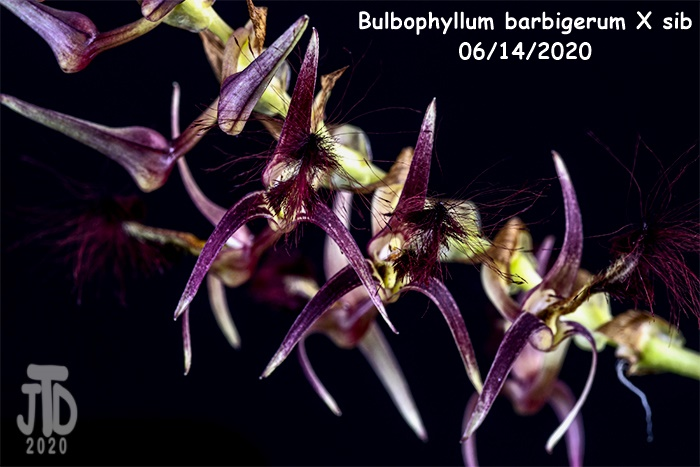 Name:  Bulbophyllum barbigerum X sib3 06142020.jpg