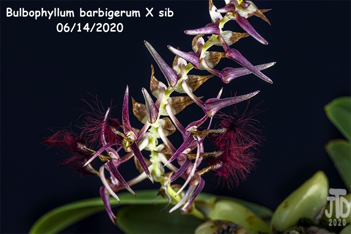Name:  Bulbophyllum barbigerum X sib4 06142020.jpg