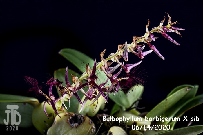Name:  Bulbophyllum barbigerum X sib5 06142020.jpg