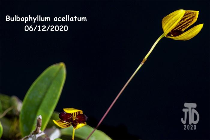 Name:  Bulbophyllum ocellatum4 06122020.jpg Views: 53 Size:  102.5 KB