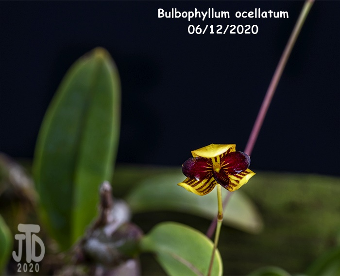 Name:  Bulbophyllum ocellatum5 06122020.jpg Views: 58 Size:  94.0 KB