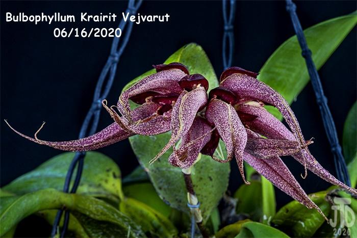Name:  Bulbophyllum Krairit Vejvarut4 06162020.jpg Views: 61 Size:  201.2 KB