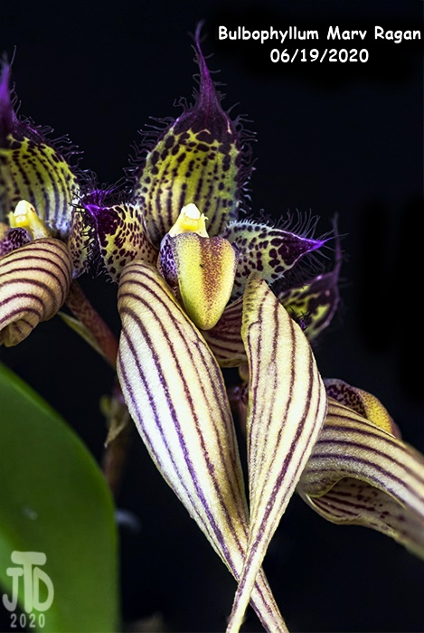 Name:  Bulbophyllum Marv Ragan2 06182020.jpg Views: 72 Size:  139.5 KB