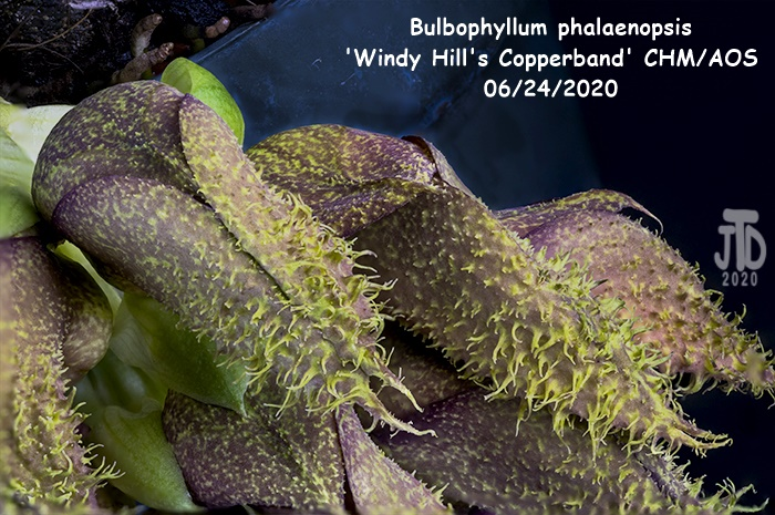 Name:  Bulbophyllum phalaenopsis 'Windy Hill's Copperband'2 CHM-AOS1 06222020.jpg