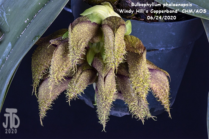 Name:  Bulbophyllum phalaenopsis 'Windy Hill's Copperband'4 CHM-AOS1 06222020.jpg