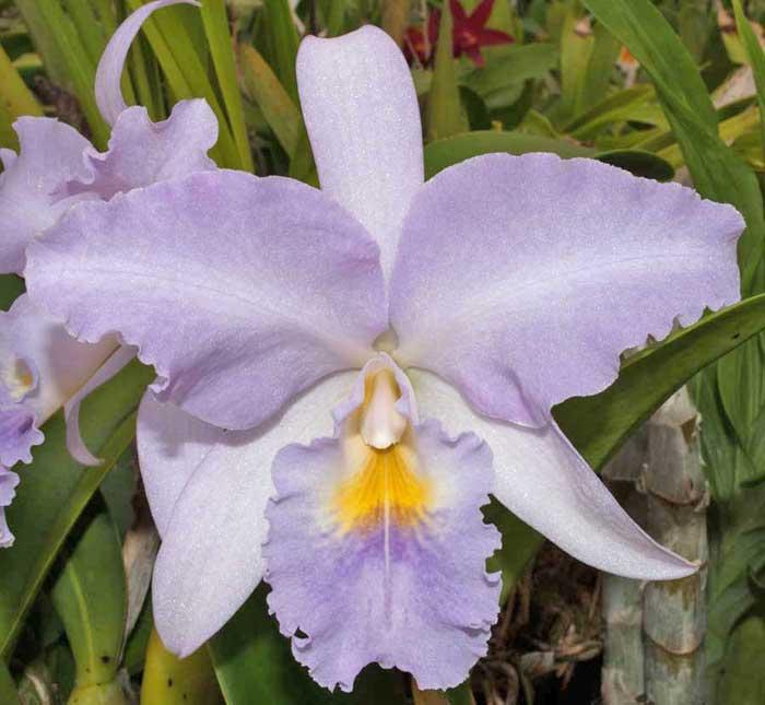 Name:  Blc-Debbie's-Blue-Diamond-#1for-Orchidtalk.jpg Views: 501 Size:  43.0 KB