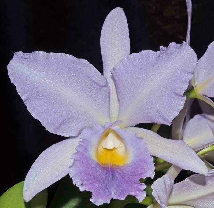 Name:  second-to-bloomOrchidtalk.jpg Views: 412 Size:  38.3 KB