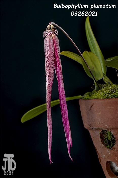 Name:  Bulbophyllum plumatum2 03262021.jpg Views: 40 Size:  99.2 KB