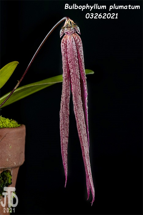 Name:  Bulbophyllum plumatum4 03262021.jpg Views: 37 Size:  106.8 KB